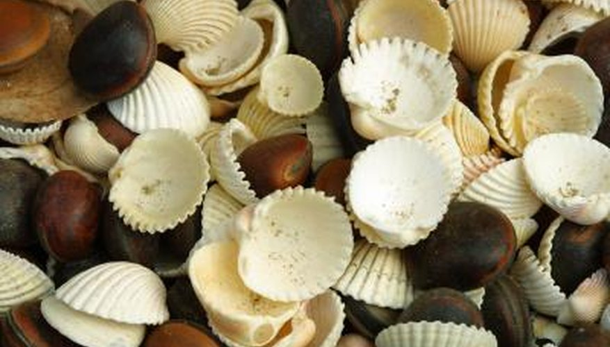 Seashells are perfect for making a variety of crafts.
