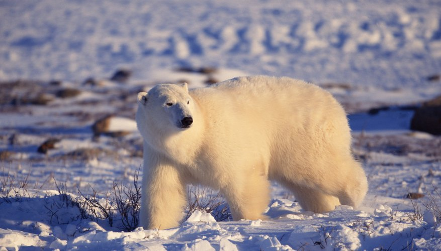 Melting from global warming shrinks available polar bear territory.