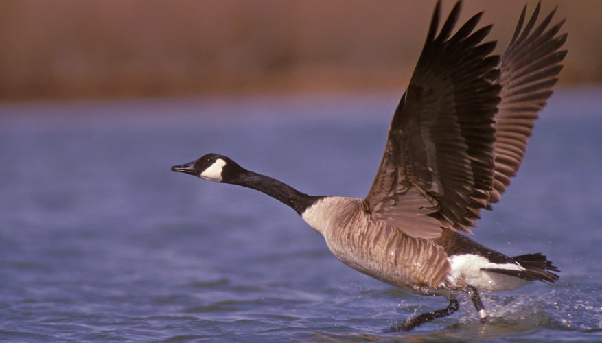 A Canadian goose takes flight from the water.