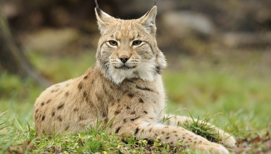 Are Bobcats Dangerous To House Cats