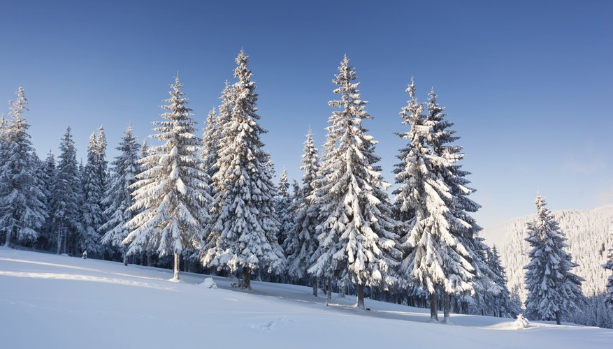 Snow-covered spruce trees on a mountain slope.