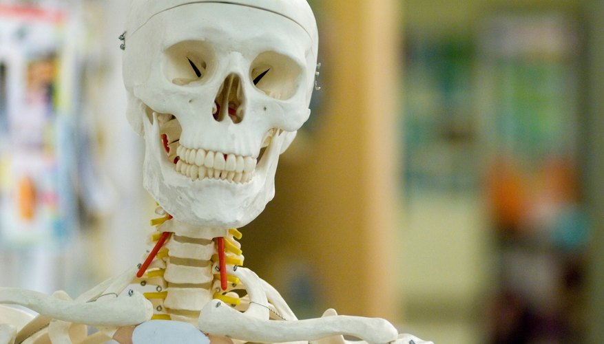 A close-up of a human skeleton model in a science classroom.