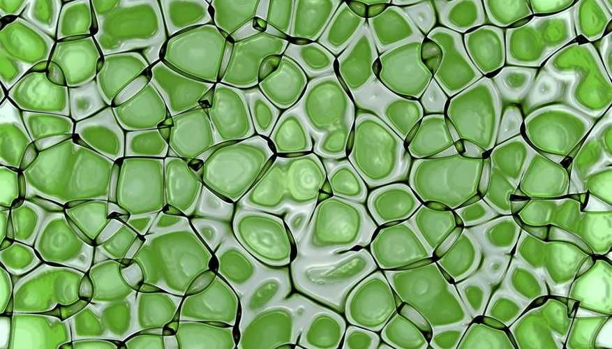 All plant cells contain chloroplasts, which give them their green pigmentation.