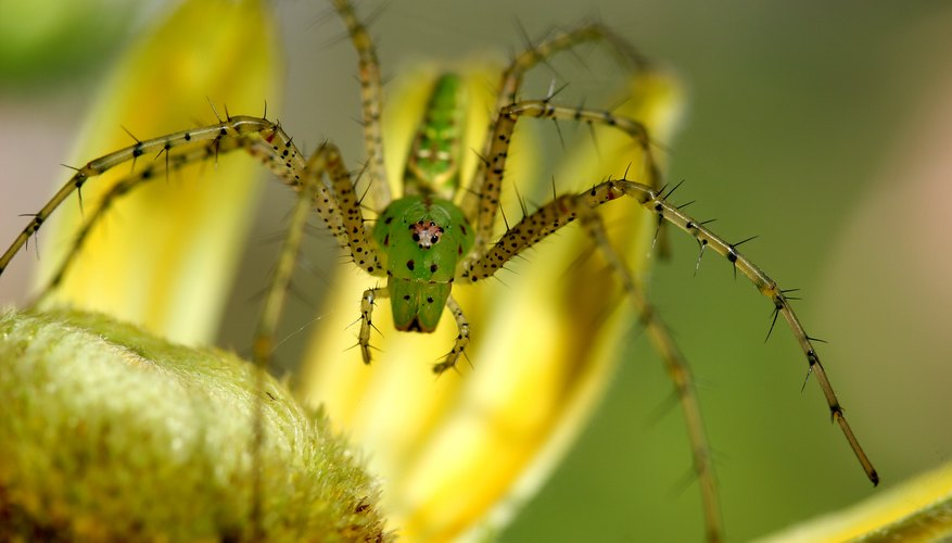 Green Lynx spiders inhabit open fields.