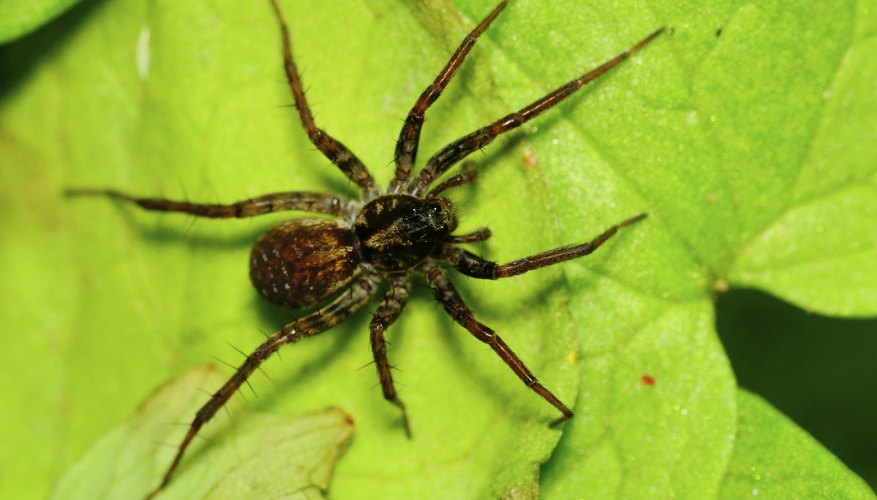 Pennsylvania is home to the wolf spider