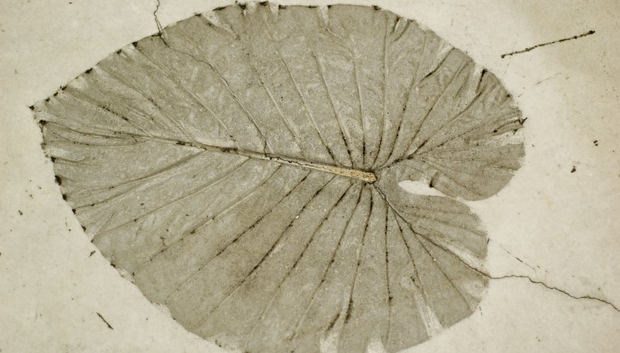 A true form fossil of a plant.