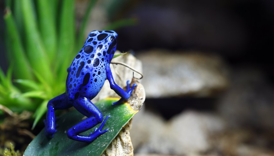 A blue poison dart frog sits on a leaf on a rock.