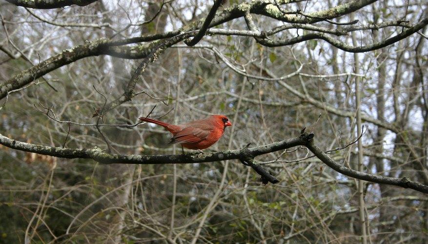 Pájaros cardinales y nidos de pájaros - Petcha