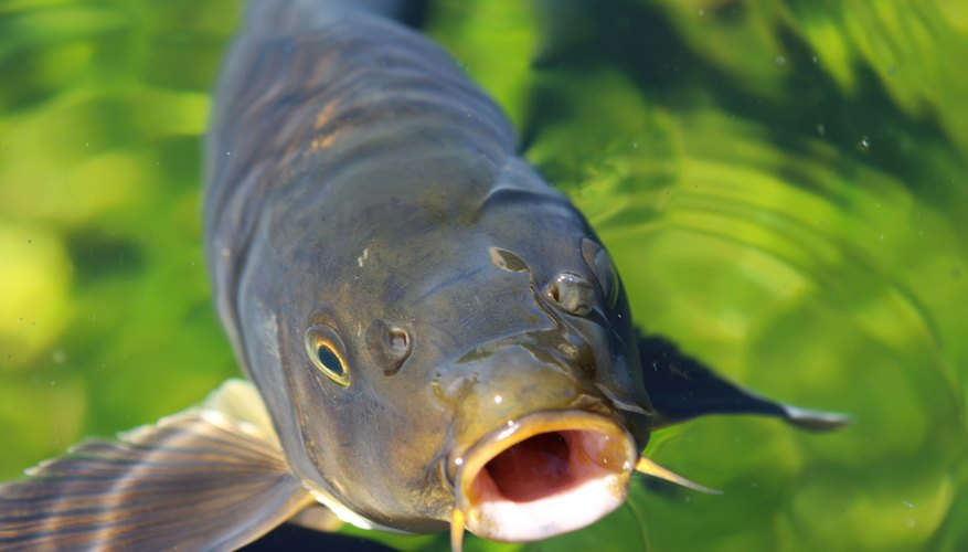 List of fish that are bottom feeders sciencing for Bottom feeder fish list
