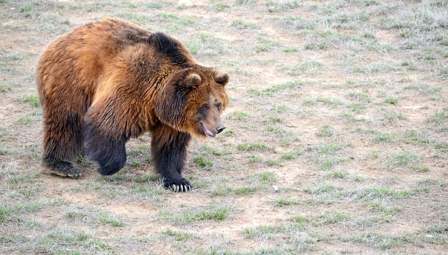 The great bear has lately shown some interest in reclaiming at least a little bit of its old grassland stomping grounds.