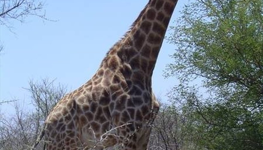 How Do Giraffes Mate?