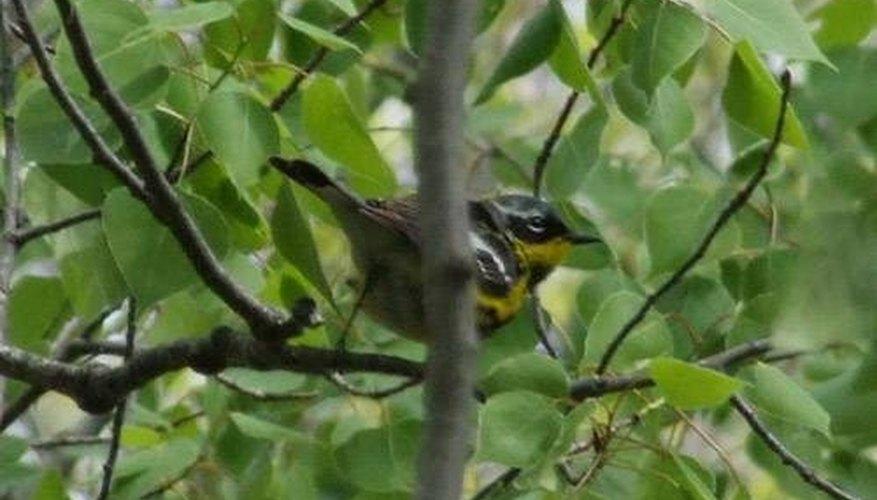 ODFW, Oregon Especies silvestres: Towhee, gorriones, buntings