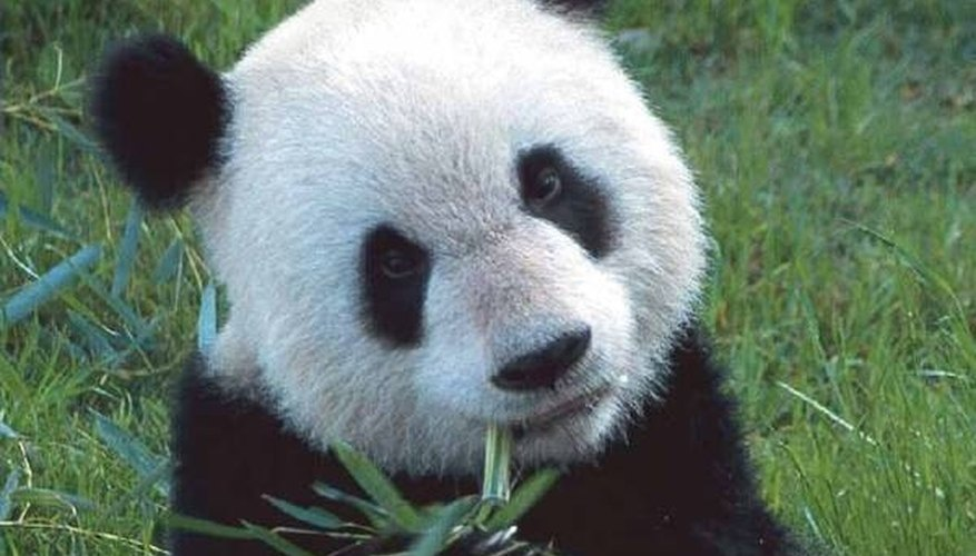 A giant panda's face cannot display facial expressions