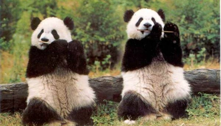 How Do Pandas Communicate?