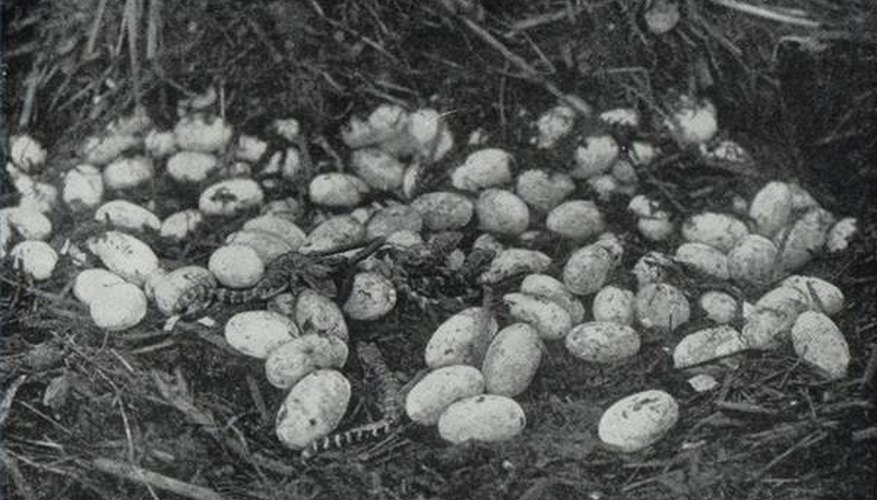 Alligator eggs and new hatchlings.