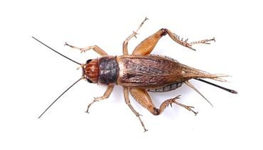 How Long Do Crickets Live?