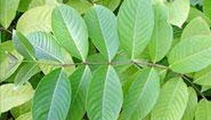 The Leaves of the Banaba Plant