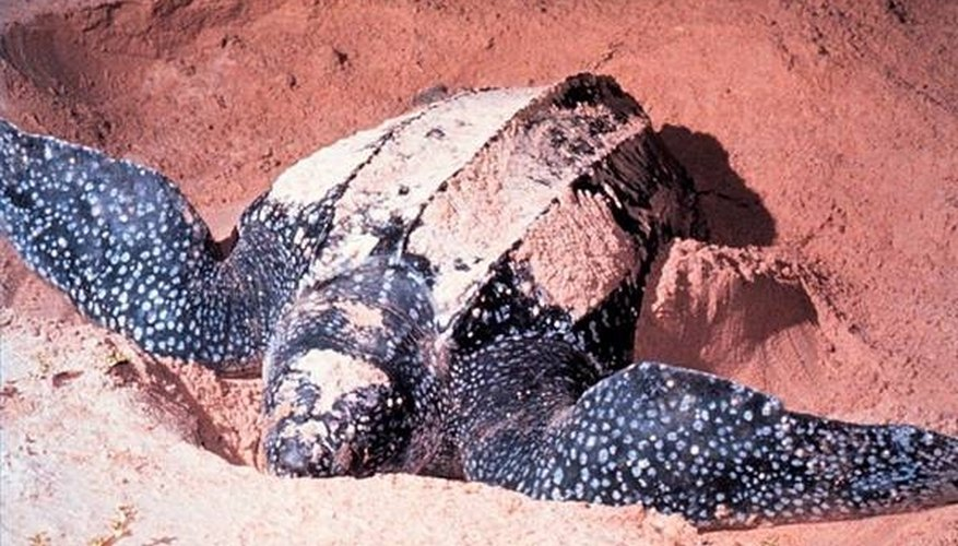 Female leatherback turtle digging a nest.