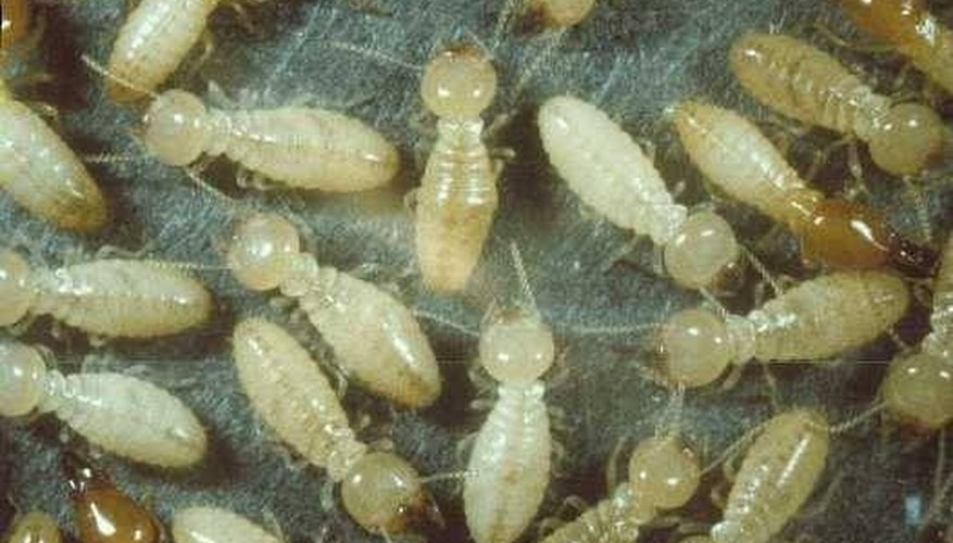 What does termite larvae look like