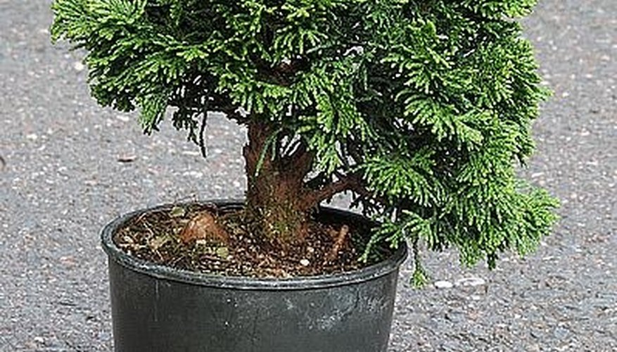 Untrimmed bonsai tree