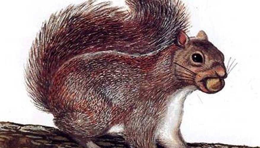 How Does a Squirrel Reproduce?
