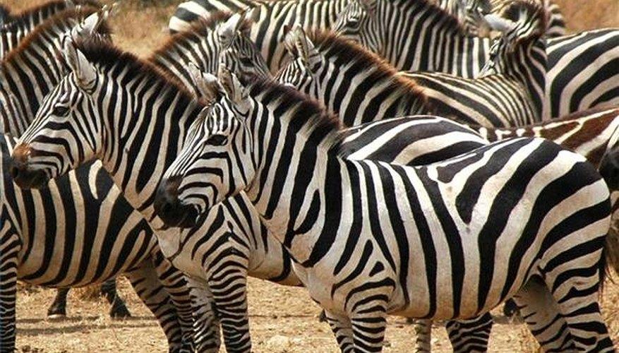 What a zebra looks like