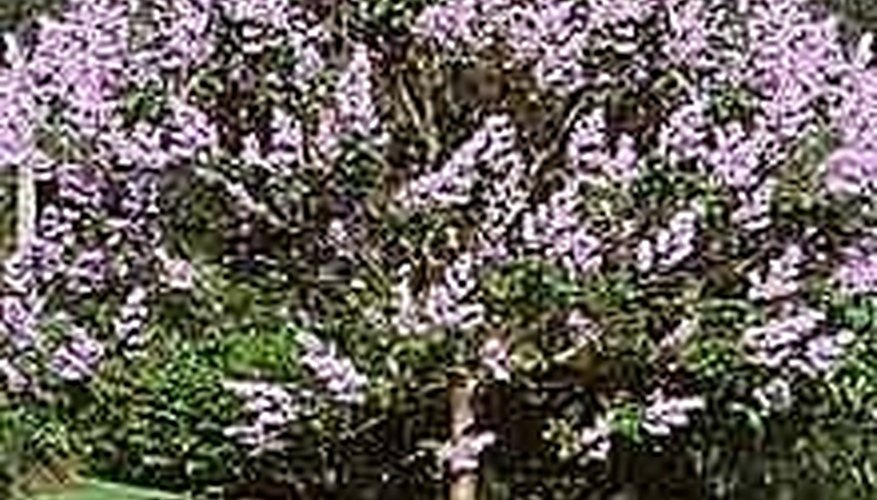 Plant a Paulownia Tree for Quick Shade
