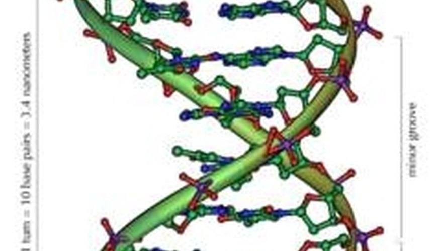 Double Helix of DNA. Photo courtesy of Wikipedia.