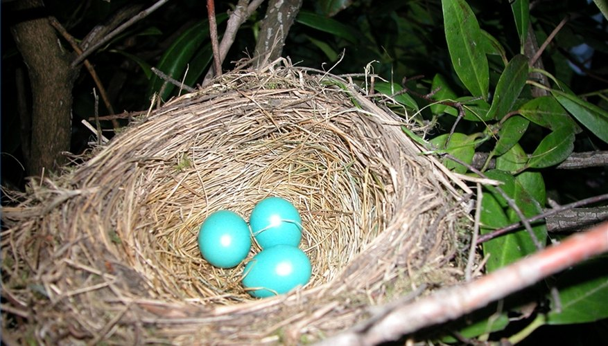 A clutch of robin eggs will hatch in 12 to 16 days. kittenpuff1: Creativecommons.org