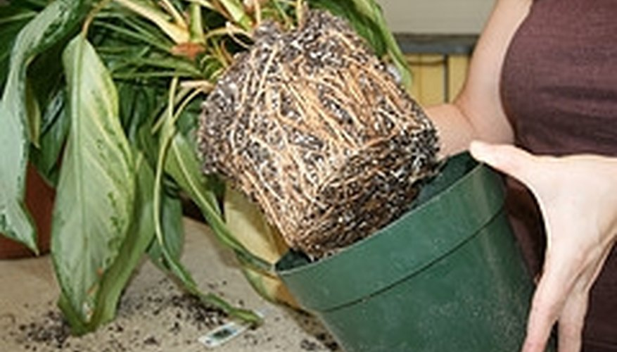 Plants may become root bound if kept in a pot that is too small