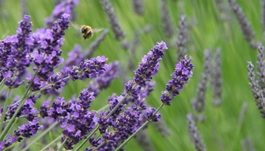 Lavender plants are used in aromatherapy.
