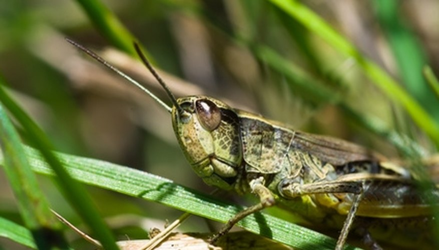 Grasshopper blending into its habitat