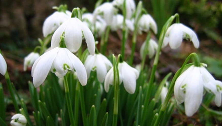 Snowdrops adapt well to Northwest climates.