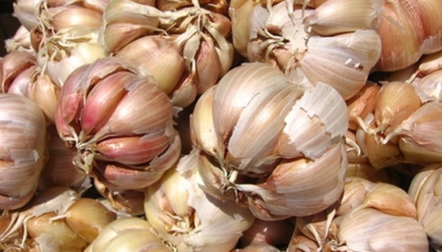 Garlic is easy to grow in a home garden.