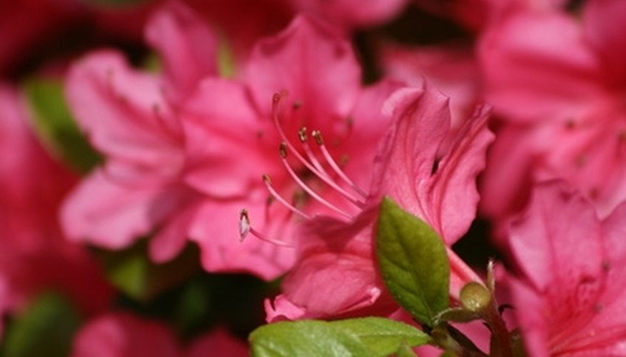 Azalea leaves are almost hidden by colorful flowers in the spring or summer.