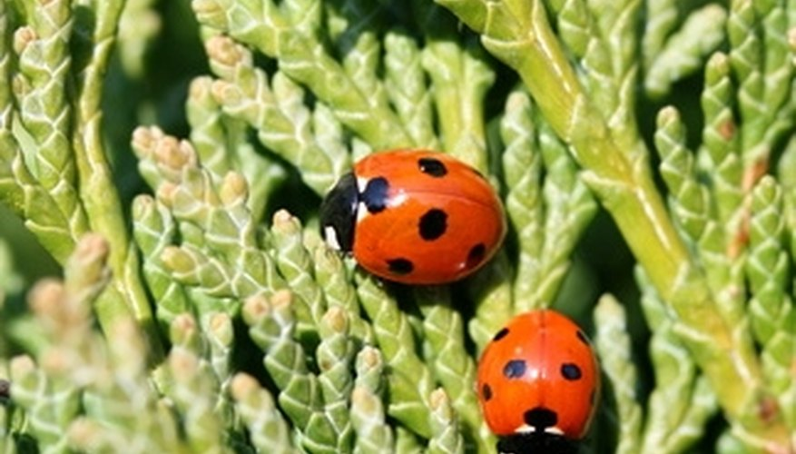 Ladybugs help protect plants by destroying aphids.