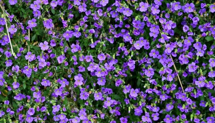Wild violets can be invasive and difficult to manage.