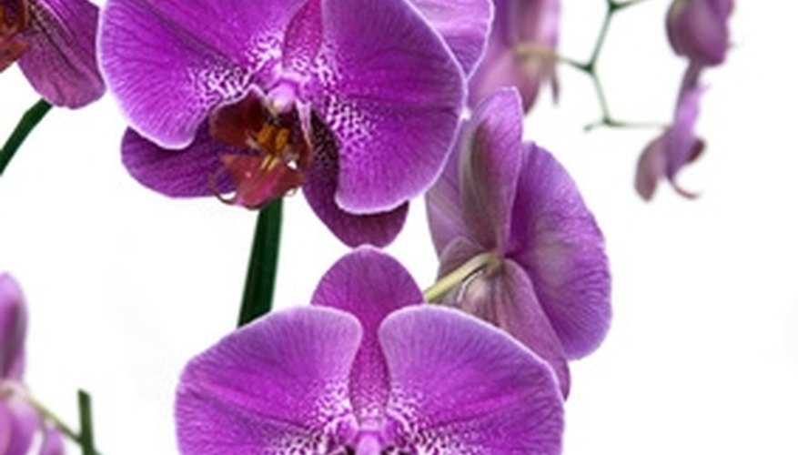 Phalaenopsis orchid in full bloom