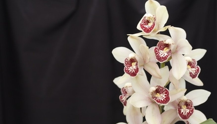 A spray of cymbidium orchid blossoms