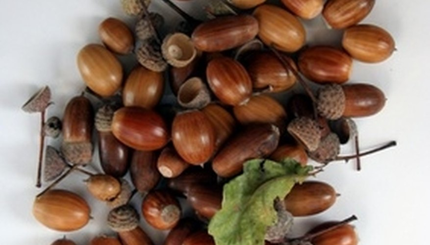 Acorns help to preserve life in the woodlands.