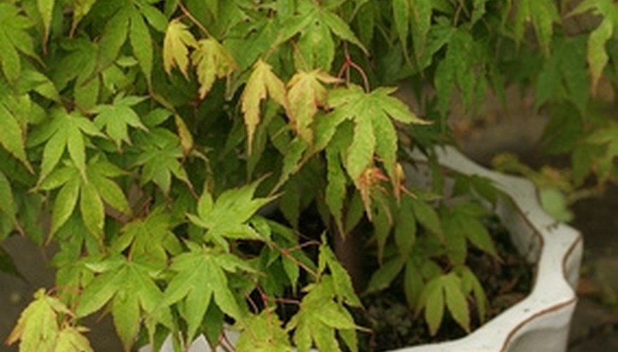 Some gardeners prefer the mobility of a container-grown Japanese maple.