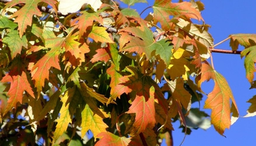 Sugar maples are not as showy as red maples.
