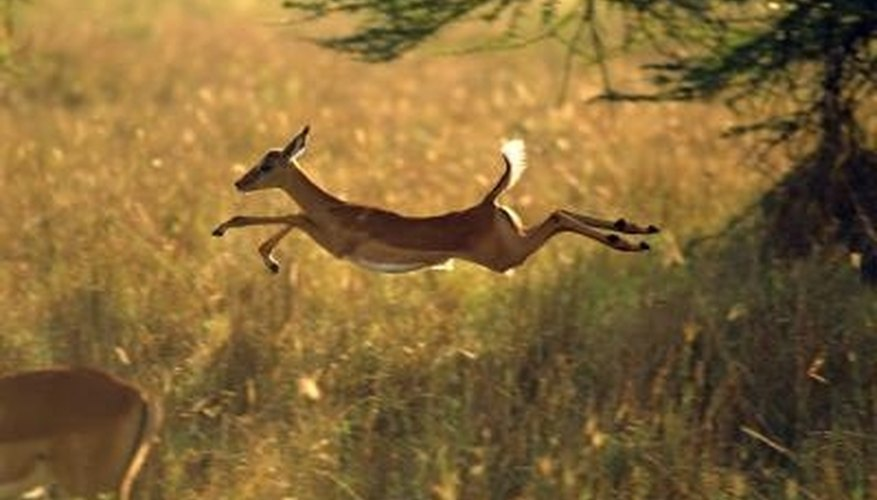 Deer are proficient jumpers.