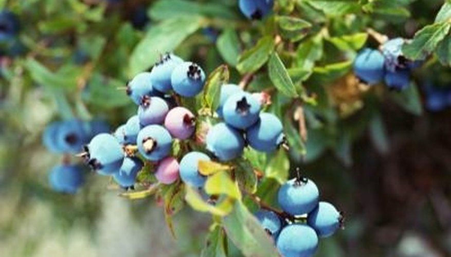 Plant different types of blueberry bushes in your garden.