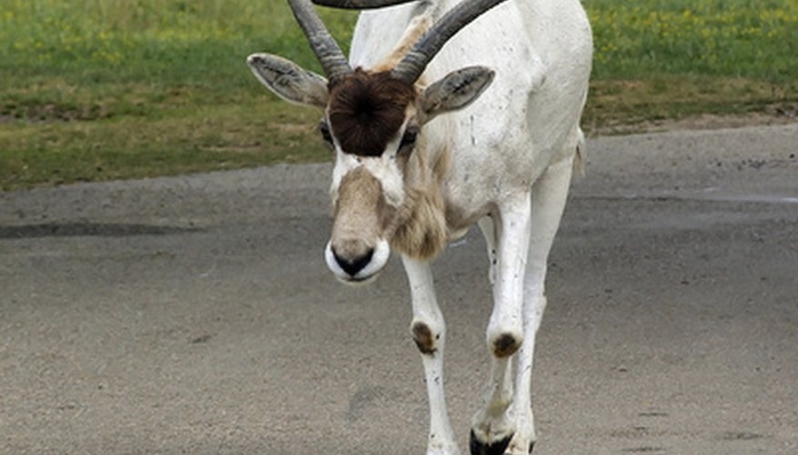The addax is a member of the the antelope family