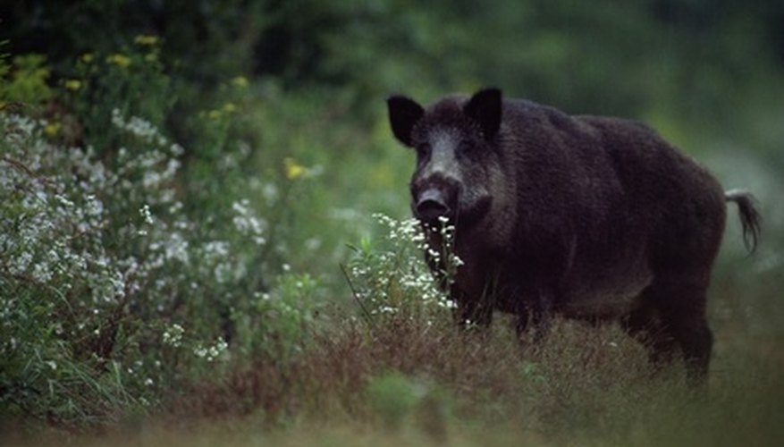 The wild boar is one of many species of animals living in the Coastal Plains.