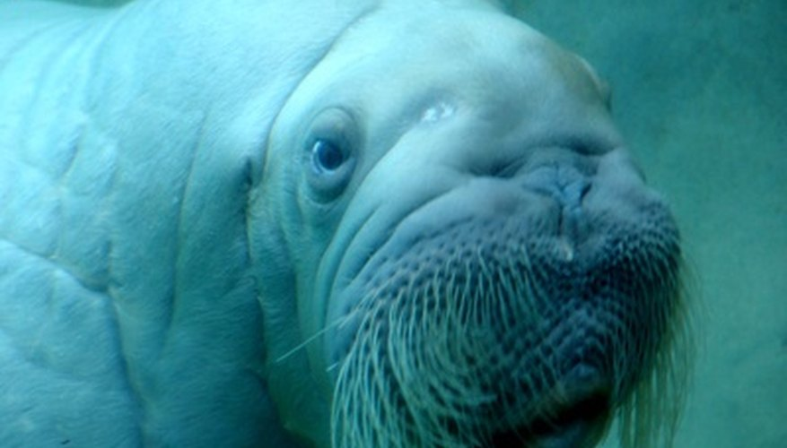 The walrus's Latin name, Odobenus rosmarus, means