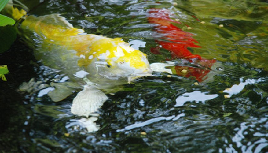 How do koi fish reproduce in freshwater ponds sciencing for Koi pond temperature