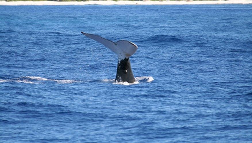 Many whale species make their home in frigid waters.
