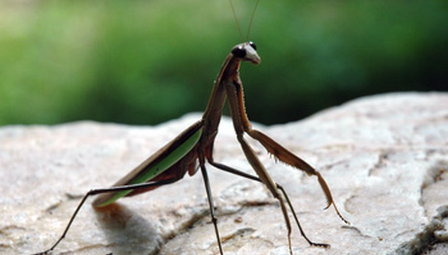 When food is scarce, praying mantids will eat each other.